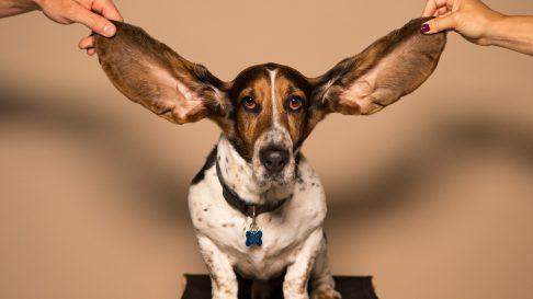 Cauze pentru care cainii isi pot pierde auzul